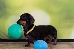Miniaturowego jamnika mienia trwanie balon Fotografia Stock