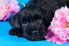 Miniaturowego Schnauzer szczeniak wśród kwiatów Zdjęcie Royalty Free