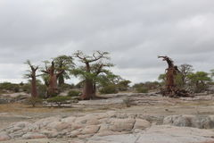 Miniaturowi baobabów drzewa Obrazy Royalty Free