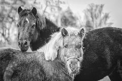 Miniaturowi konie w Czarny I Biały Zdjęcie Royalty Free