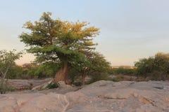 Miniaturowy baobabu drzewo Zdjęcie Royalty Free