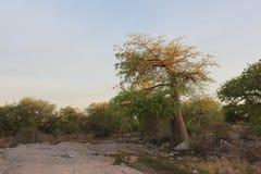 Miniaturowy baobabu drzewo Fotografia Royalty Free