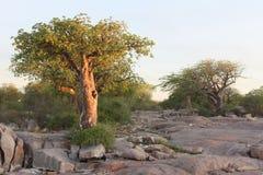 Miniaturowy baobabu drzewo Obraz Royalty Free