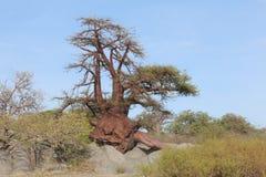 Miniaturowy baobabu drzewo Zdjęcie Stock