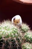 Miniaturowy chomikowy wspina się up kaktusa Zdjęcie Royalty Free