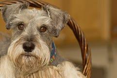miniaturowy Easter koszykowy śliczny psi schnauzer Obraz Stock