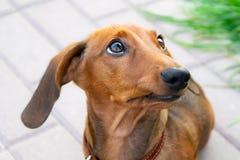 Miniaturowy jamnika szczeniak z swój właścicielem Młody energiczny pies biega wokoło dla spaceru obrazy royalty free