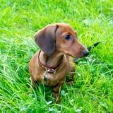 Miniaturowy jamnika szczeniak z swój właścicielem Młody energiczny pies biega wokoło dla spaceru fotografia royalty free