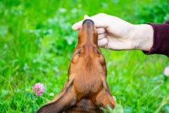 Miniaturowy jamnika szczeniak z swój właścicielem Młody energiczny pies biega wokoło dla spaceru zdjęcie stock