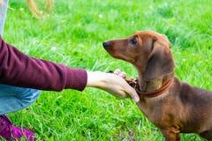 Miniaturowy jamnika szczeniak z swój właścicielem Młody energiczny pies biega wokoło dla spaceru obraz stock