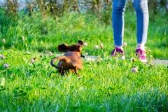 Miniaturowy jamnika szczeniak z swój właścicielem Młody energiczny pies biega wokoło dla spaceru obraz royalty free