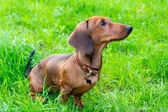 Miniaturowy jamnika szczeniak z swój właścicielem Młody energiczny pies biega wokoło dla spaceru obrazy stock