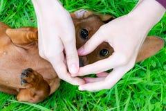 Miniaturowy jamnika szczeniak z swój właścicielem Młody energiczny pies biega wokoło dla spaceru fotografia stock