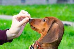 Miniaturowy jamnika szczeniak z swój właścicielem Młody energiczny pies biega wokoło dla spaceru zdjęcie royalty free