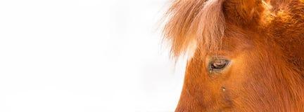 Miniaturowy koń Przygląda się zbliżenie sieci sztandar Fotografia Stock
