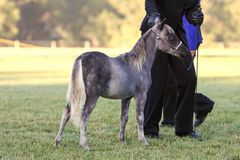 Miniaturowy koń Zdjęcie Stock