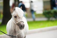 Miniaturowy koń Fotografia Royalty Free