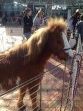 Miniaturowy koń Obraz Stock