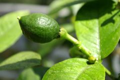 miniaturowy lime drzewo Obrazy Royalty Free