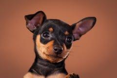 Miniaturowy Pinscher zdjęcie royalty free