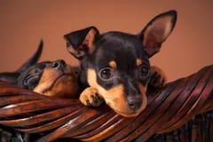 Miniaturowy Pinscher zdjęcia royalty free