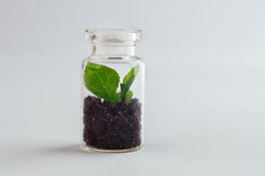 Miniaturowy szklany słój z rozsadowym dorośnięciem wśrodku go Fotografia Stock