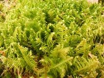 Miniaturowy zielony mech w dziewiczym lesie w Białoruś pokrywach gruntuje jak dywan Obrazy Royalty Free