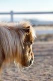Miniaturpferd mit Shaggy Winter Coat Stockbild