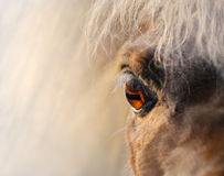 Miniaturpferd - naher hoher Schuss Stockfotografie