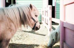 Miniaturpferd, zwergartiges Pferd stockfoto