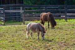 Miniaturpferde am Ackerland Lizenzfreie Stockfotos