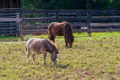 Miniaturpferde am Ackerland Lizenzfreies Stockfoto