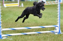 Miniaturpudel an einem Hundebeweglichkeits-Versuch Lizenzfreies Stockbild