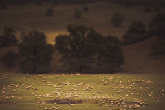 Miniaturschafe und eine ländliche Landschaft stockbilder