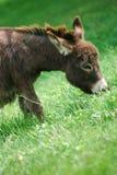 Miniatuur Ezel op Gebied Stock Afbeelding