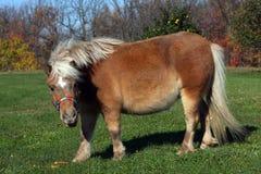 Miniatuur Paard Royalty-vrije Stock Afbeeldingen