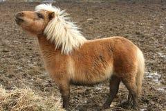 Miniatuur Paard Stock Afbeeldingen