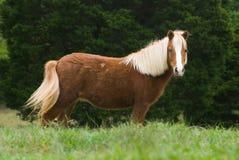 Miniatuur paard in weide Royalty-vrije Stock Afbeeldingen