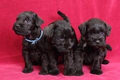 Miniatuur puppy Schnauzer Royalty-vrije Stock Foto's