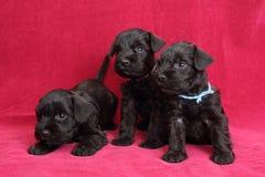 Miniatuur puppy Schnauzer Stock Foto's