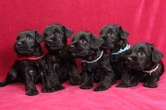Miniatuur puppy Schnauzer Stock Afbeeldingen