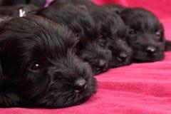 Miniatuur puppy Schnauzer Royalty-vrije Stock Afbeeldingen