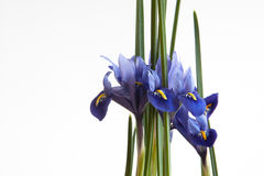 Miniatuur Purpere Irissen Royalty-vrije Stock Afbeeldingen