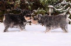 Miniatuur schnauzers in sneeuw royalty-vrije stock foto's