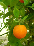 Miniatuur Sinaasappel Stock Foto