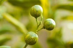 Miniatuur Sinaasappelen Stock Afbeeldingen