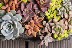 Miniatuur succulente installaties royalty-vrije stock fotografie