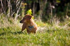 Miniatuur Tekkel in het gras Stock Foto
