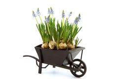 Miniatuur van kruiwagen met blauwe druivenhyacint die wordt gevuld stock foto's