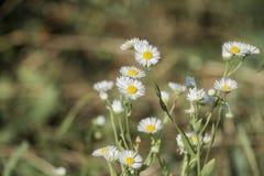 Miniatuur witte bloemen met kleine bloemblaadjes en gele annuus van centraerigeron Royalty-vrije Stock Afbeeldingen